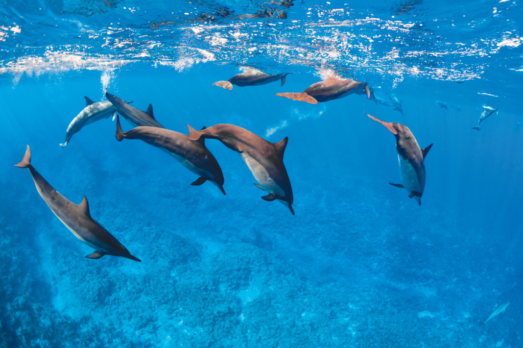 Dolphins_Niue